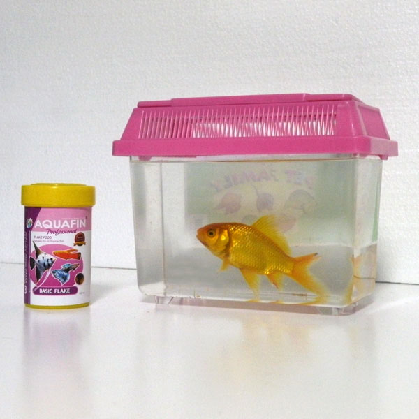 Gold Fish in a Carrying Box!