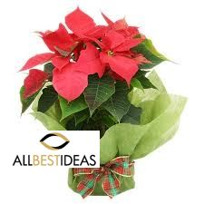 Wrapped Poinsettia