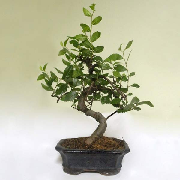 Bonsai Tree!